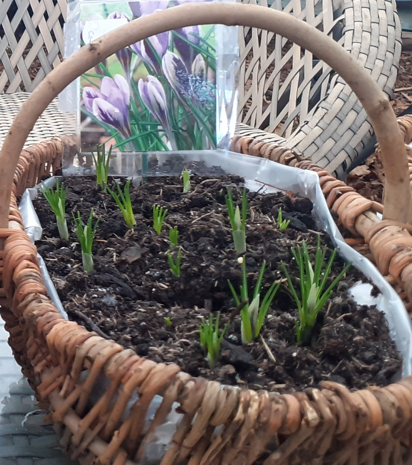 Spring_Bulbs_in_a_Basket2.jpg